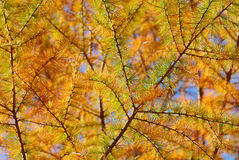 Golden Larch in the Fall Stock Photo