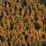 Golden larch forest in autumn royalty free stock photos