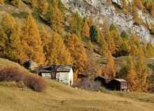 Golden larch forest and old sheds royalty free stock photos