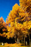Golden Larch Royalty Free Stock Photos