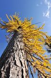 Golden Larch Tree Royalty Free Stock Photography