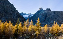 A golden larch woods in autumn Stock Images