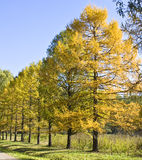 Golden larches Stock Photography