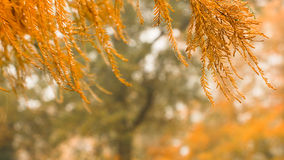 Golden larches Stock Photo