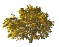 Golden large oak tree isolated on white Royalty Free Stock Images