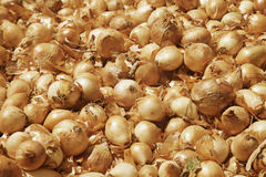 Golden large onion Royalty Free Stock Photography
