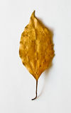 Golden leaf Stock Photos