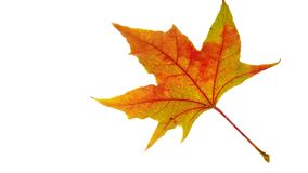 Golden Leaf Royalty Free Stock Photo