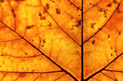 Golden leaf in autumn. Golden backlit leaf in autumn showing its structure and texture royalty free stock images