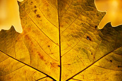 Golden leaf in autumn. Golden backlit leaf in autumn showing its structure and texture Stock Photos
