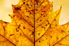 Golden leaf in autumn. Golden backlit leaf in autumn showing its structure and texture royalty free stock image