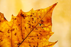 Golden leaf in autumn. Golden backlit leaf in autumn showing its structure and texture stock photography
