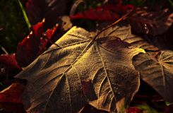 Golden leaf. Leaf in golden autumn morning Royalty Free Stock Photography