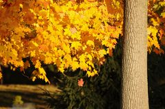 Golden leaf fall Royalty Free Stock Photos