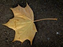 Golden leaf. Lonely leaf, leaf texture on the ground Stock Image