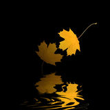 Golden Leaf Reflection. Two golden maple leaves of autumn with abstract reflection, set against a black background Royalty Free Stock Image