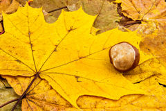 Golden leaf with a single chestnut. On forest bed background Stock Photography