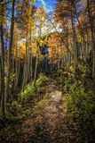 The Golden Leaf Trail. Aspen autumn leafs glow in the sun on a Wasatch national forest trail with the golden aspens reaching up to the sky in Utah USA Stock Image