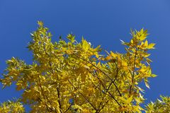 Golden leafage of red ash against blue sky. Golden leafage of red ash against the sky Stock Images