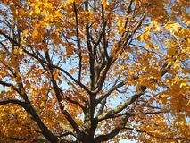 Golden Leafed Maple Tree. Fall colours on an old Maple royalty free stock image