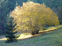 Golden leafed tree in the autumn Royalty Free Stock Images
