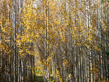 Golden leafed trees in the sun. Royalty Free Stock Images