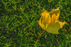 Golden leave. royalty free stock images