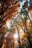 Golden-leaved trees in rays of sun Stock Photos