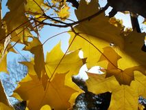 Golden leaves. Autumn sun shining through gold coloured leaves stock image