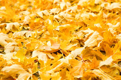 Golden leaves. Fall scenery: ground covered with yellow maple leaves Royalty Free Stock Image