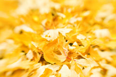 Golden leaves. Fall scenery: ground covered with yellow maple leaves. Selective focus by lensbaby Royalty Free Stock Photo