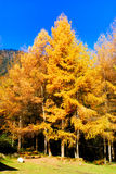 Golden Larch Stock Photo