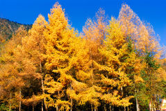 Golden Larch Royalty Free Stock Image