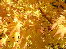 Golden leaves.  stock images