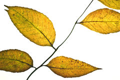 Golden leaves Stock Image