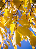 Golden Leaves. Hanging off a tree in autumn Royalty Free Stock Photography