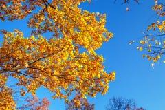 Golden leaves against the blue sky.