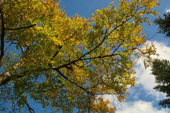 Golden leaves against blue sky with clouds Stock Images