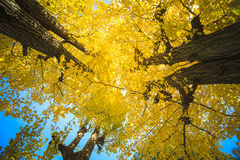 Golden leaves at autumn Royalty Free Stock Photos