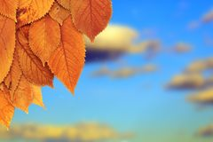 Golden leaves in autumn Stock Photos