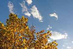 Golden Leaves in autumn. Golden Leaves and blue sky in autumn Royalty Free Stock Images