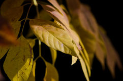 Golden Leaves of Autumn Royalty Free Stock Images