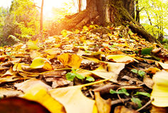 Golden leaves at autumn Stock Images