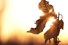 Autumn leaves at sunset. Closeup of golden sunset shining through autumn leaves Stock Photos