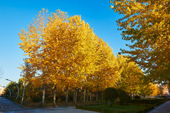 The golden leaves of autumn white poplar Royalty Free Stock Photography