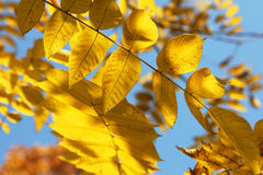 Golden leaves background royalty free stock photography