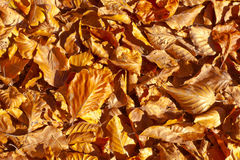 Golden Leaves Background. Royalty Free Stock Photography