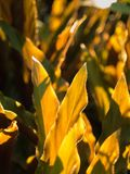 Golden Leaves in The Backlight Royalty Free Stock Images