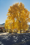 Golden Leaves at Blue Mesa Stock Image