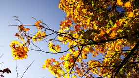 Golden leaves and blue sky in sunny October day. Golden leaves and blue sky in October day stock video